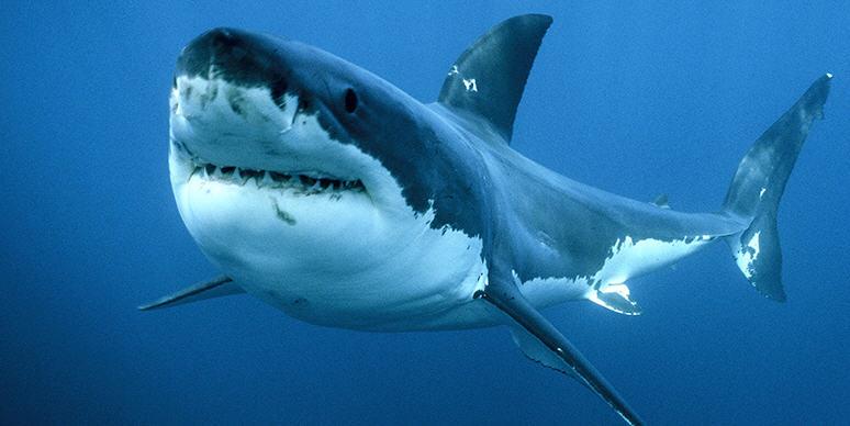 A causa del riscaldamento del mare arrivano nuove specie di squali nei nostri mari