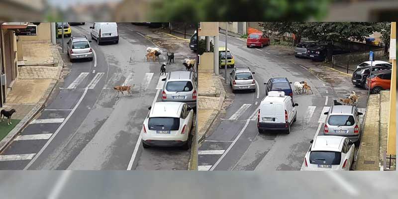 Piazza Armerina – Randagismo: branco di cani in via Machiavelli. Situazione insostenibile.