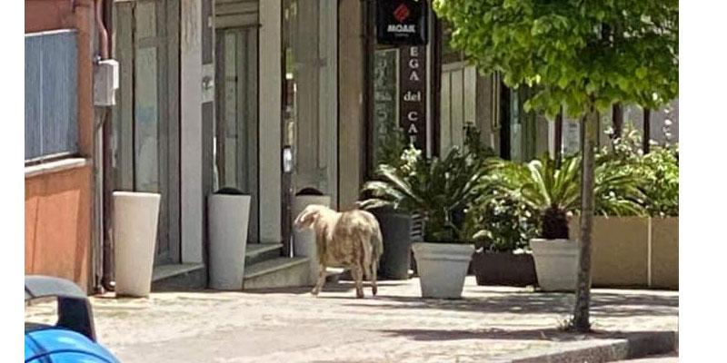 Piazza Armerina – Una pecora in città… buone notizie in arrivo?