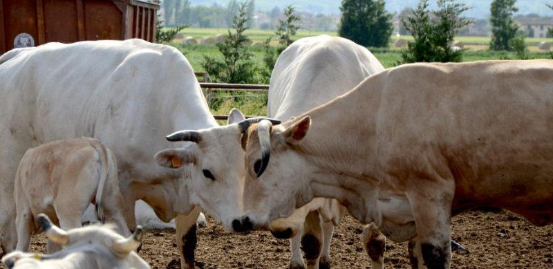 I N.A.S. sequestrato bestiame sottoposto a trattamenti terapeutici abusivi.