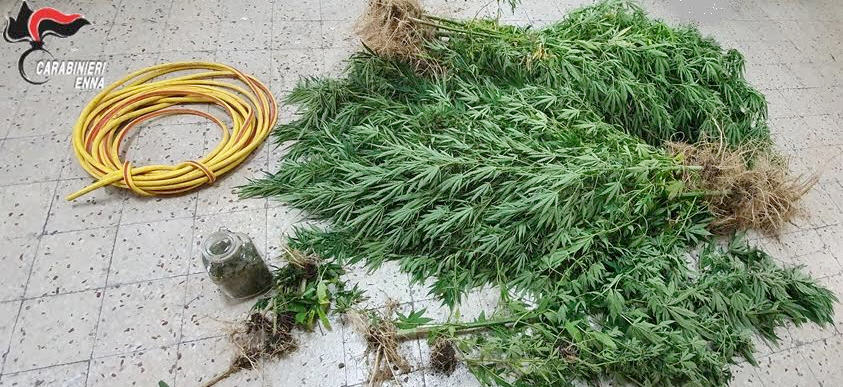 Piazza Armerina – Piantagione di di marijuana scoperta dai carabinieri in contrada Fegotto