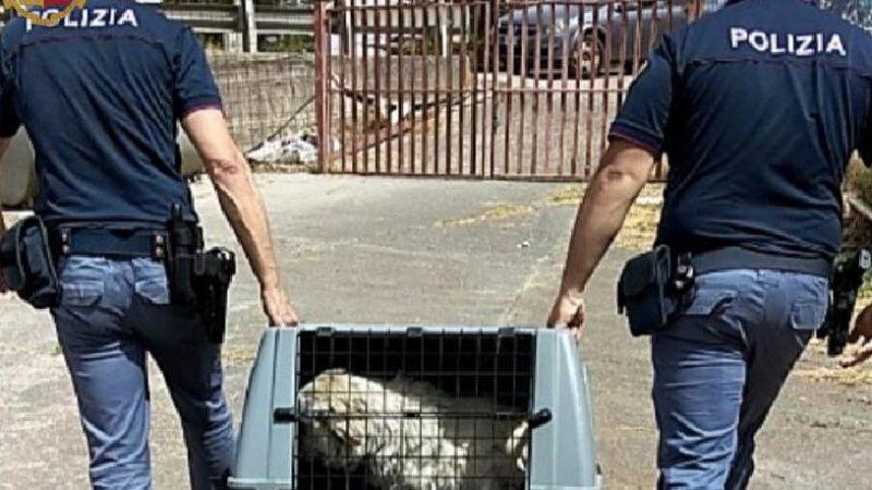 Maltrattamenti di animali: cani in catena sotto il sole. Intervento della polizia.