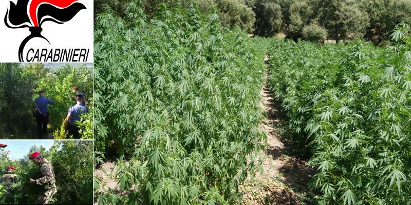Centuripe, scoperta piantagione di canapa indiana, i carabinieri sequestrano 37 piante