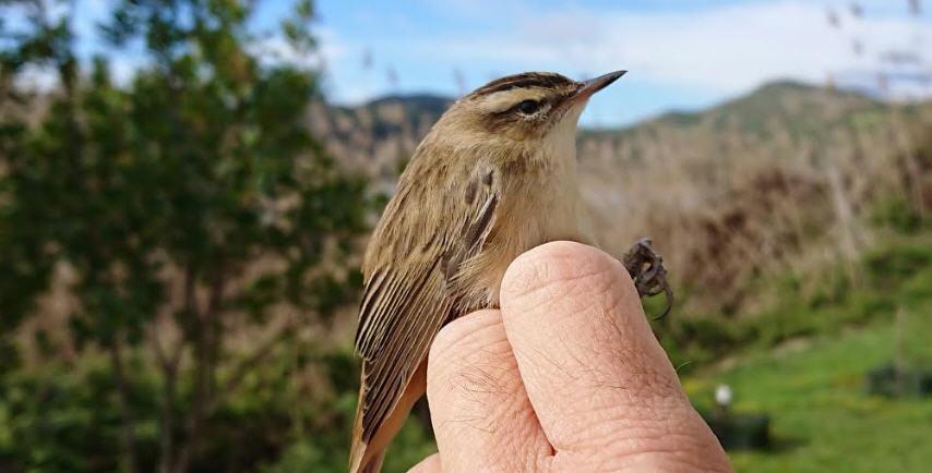 Natura: Forapaglie in migrazione scoperto per le attività di inanellamento dei volatili a Pergusa.