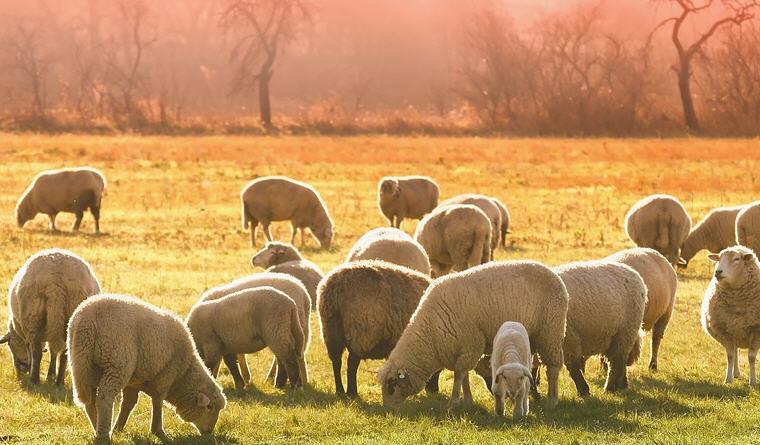 Enna – Pastori aggrediti mentre portavano gli animali al pascolo, divieto di avvicinamento per un presunto aggressore