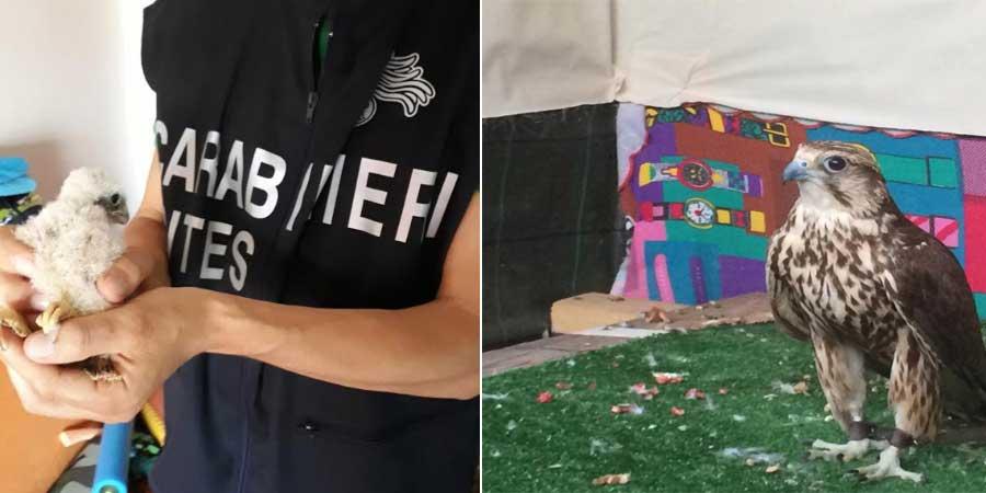 Maxi operazione antibracconaggio dei Carabinieri Forestali contro il traffico di rapaci