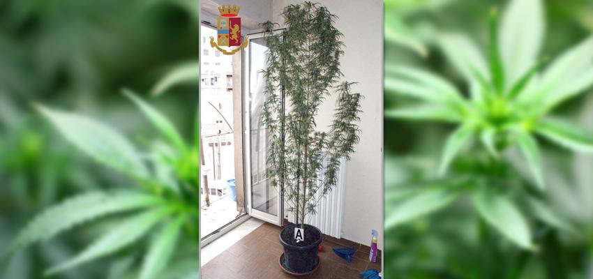 Enna – A letto in compagnia di una pianta di marijuana alta due metri
