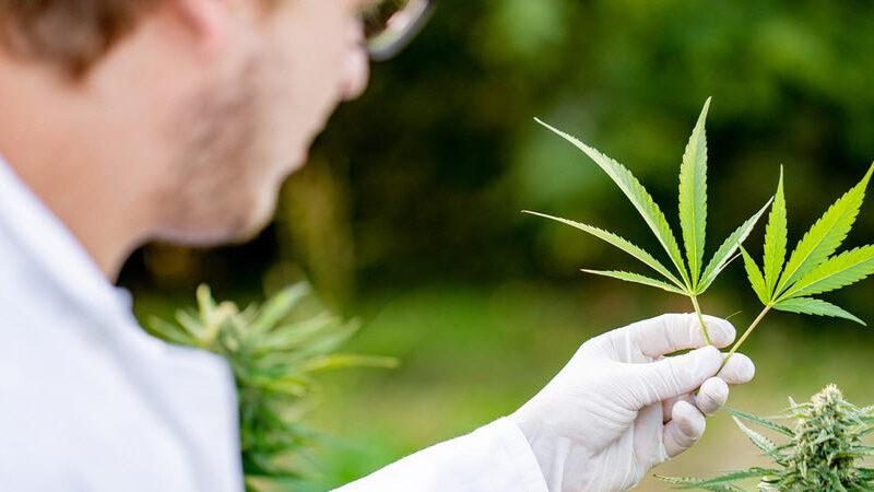La guida completa ai fiori e all'erba di CBD: come usarli e cosa sono
