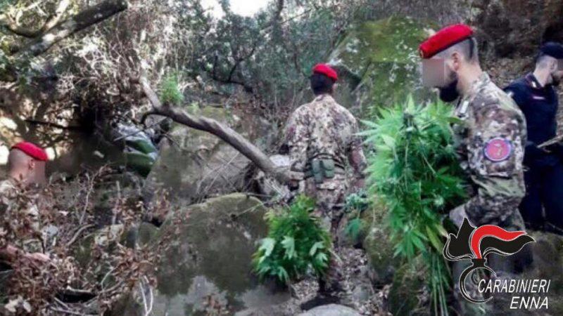 Scoperta dai Carabinieri una piantagione di marjuana a Centuripe