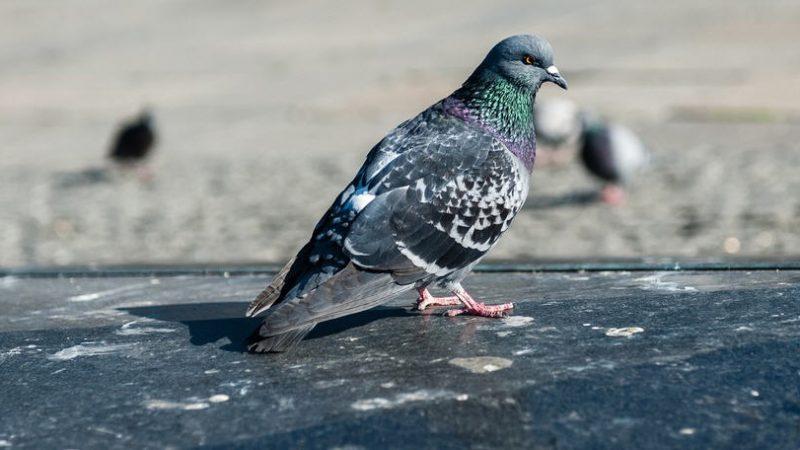 """Piazza Armerina – L'On. Luisa Lantieri. """"I colombi e il loro guano, un problema da risolvere con urgenza"""""""